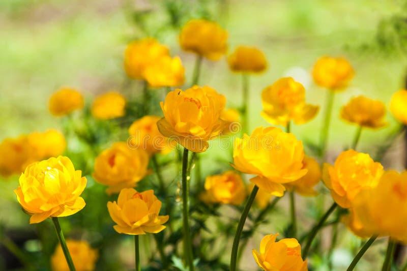 Il giallo fiorisce i italmas fotografia stock
