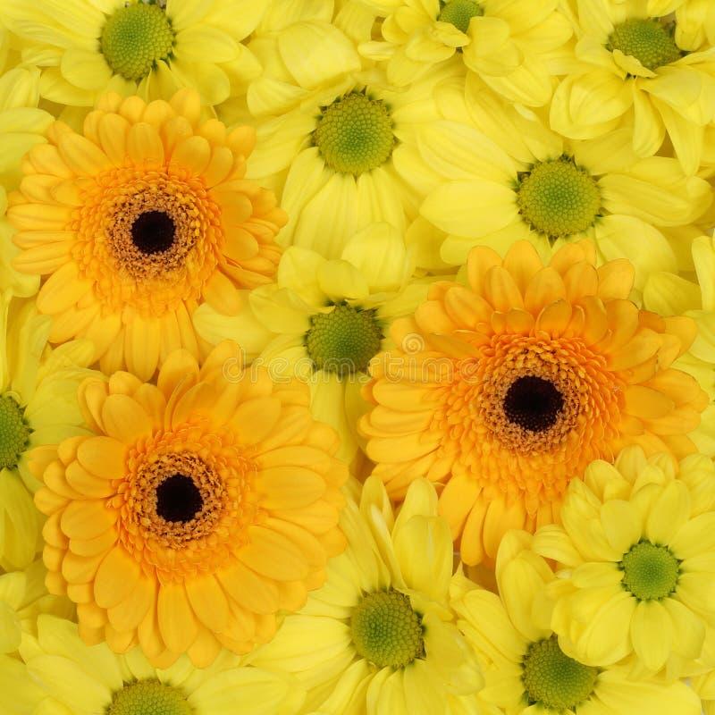 Il giallo fiorisce il fondo dei crisantemi nella stagione primaverile o nel mot fotografie stock libere da diritti
