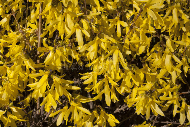 Il giallo fiorisce la forsythia sulla foto di struttura del cespuglio in primavera fotografie stock