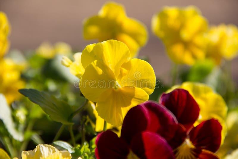 Il giallo fiorisce le viole del pensiero immagini stock libere da diritti