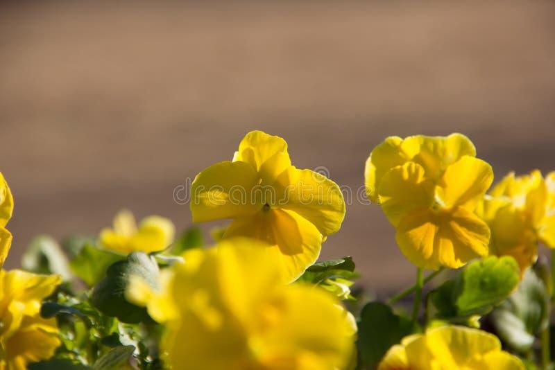 Il giallo fiorisce le viole del pensiero fotografie stock libere da diritti