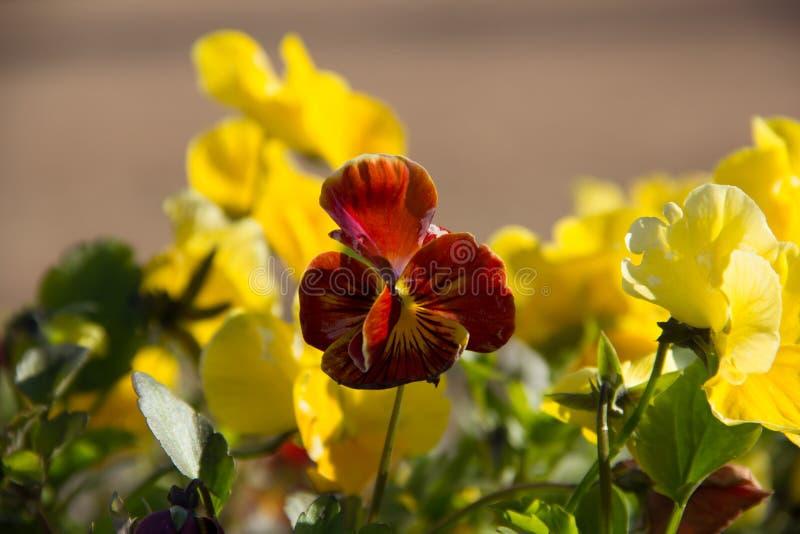 Il giallo fiorisce le viole del pensiero fotografia stock