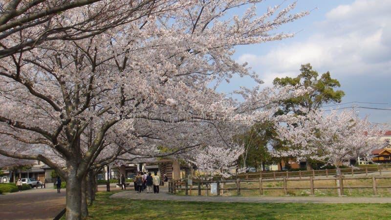 Il Giappone Cherry Blossom Tree immagini stock