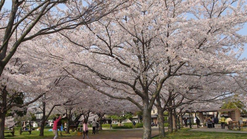 Il Giappone Cherry Blossom Tree immagine stock libera da diritti