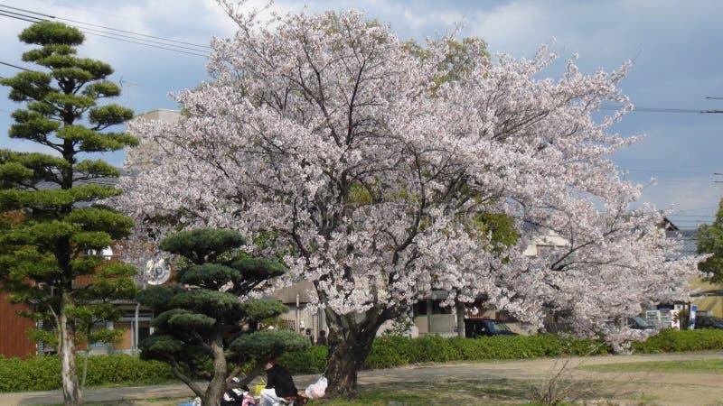 Il Giappone Cherry Blossom Tree fotografie stock