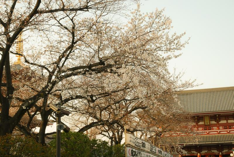 Il Giappone, ciliegio di fioritura di Tokyo-marzo 29,2019 di Sakura con i fiori in primavera Fullbloom del fiore di Sakura in par fotografie stock