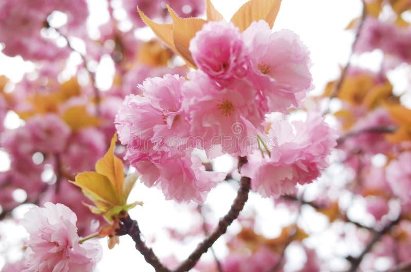 Il Giappone Sakura fotografia stock