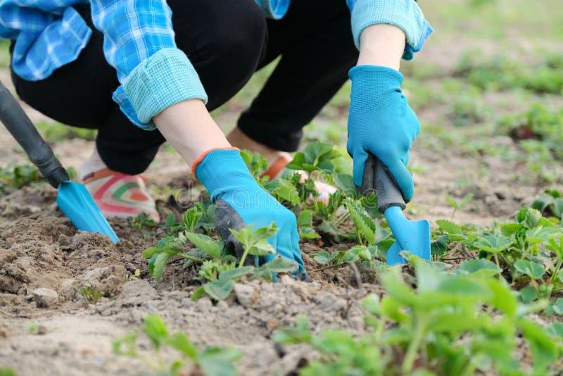 Il giardiniere coltiva il suolo con gli attrezzi per bricolage, molla facente il giardinaggio, coltivazione della fragola fotografia stock libera da diritti