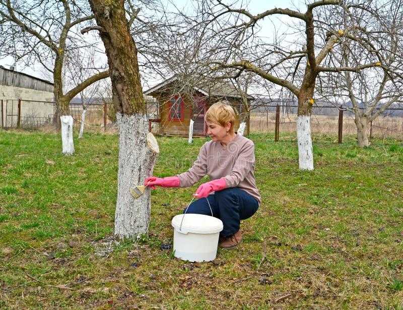 Il giardiniere femminile candeggia un tronco dell'Apple-albero La primavera funziona in un giardino immagini stock libere da diritti
