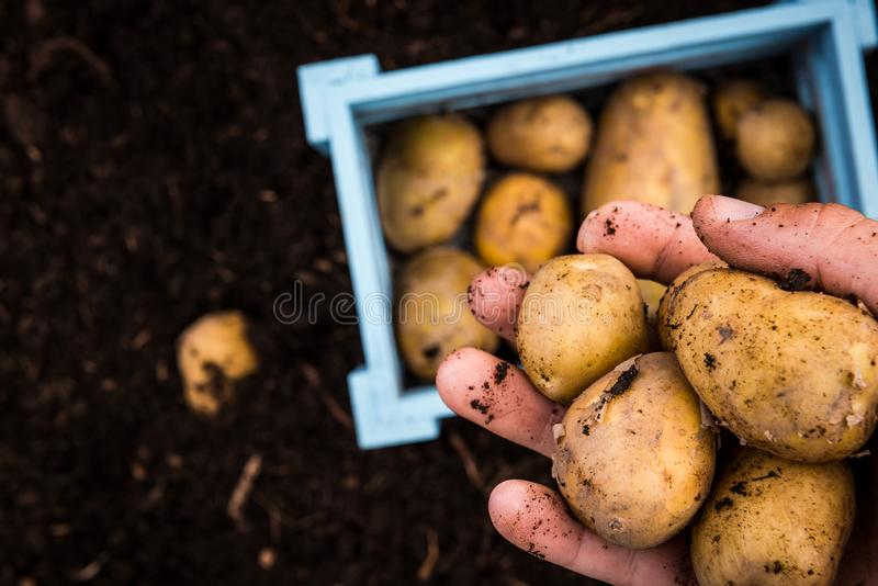Il giardiniere Hand Holds Freshly ha raccolto le patate fotografie stock