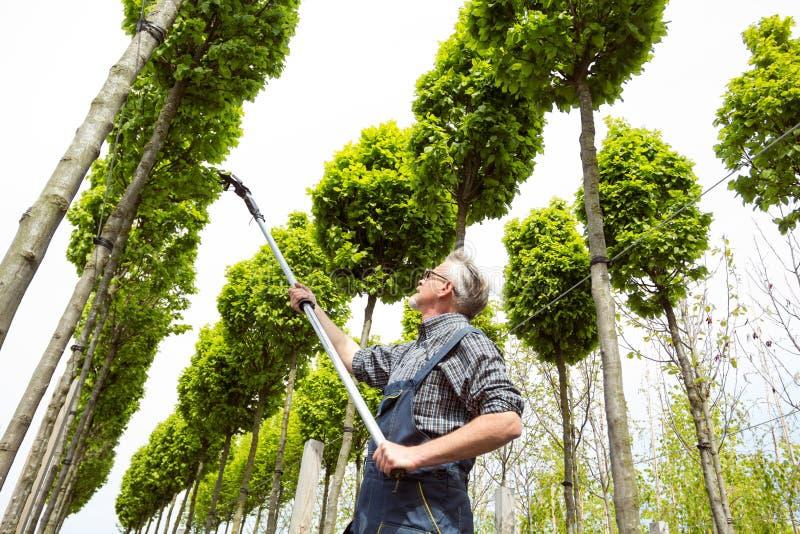 Il giardiniere prende la cura di giovani alberi fotografia stock