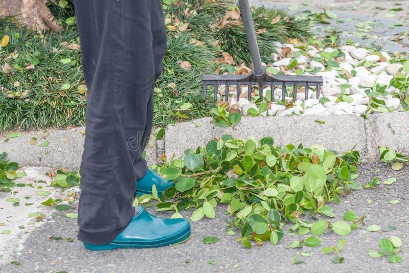 Il giardiniere sta rastrellando le foglie di caduta dopo la guarnizione della barriera fotografia stock