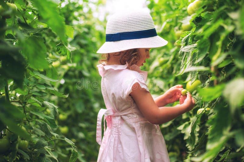 Il giardiniere sveglio della bambina ha selezionato i pomodori organici in serra fotografie stock
