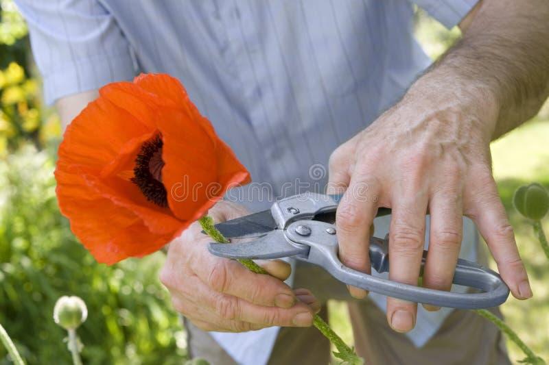 Il giardiniere taglia il papavero fotografia stock libera da diritti