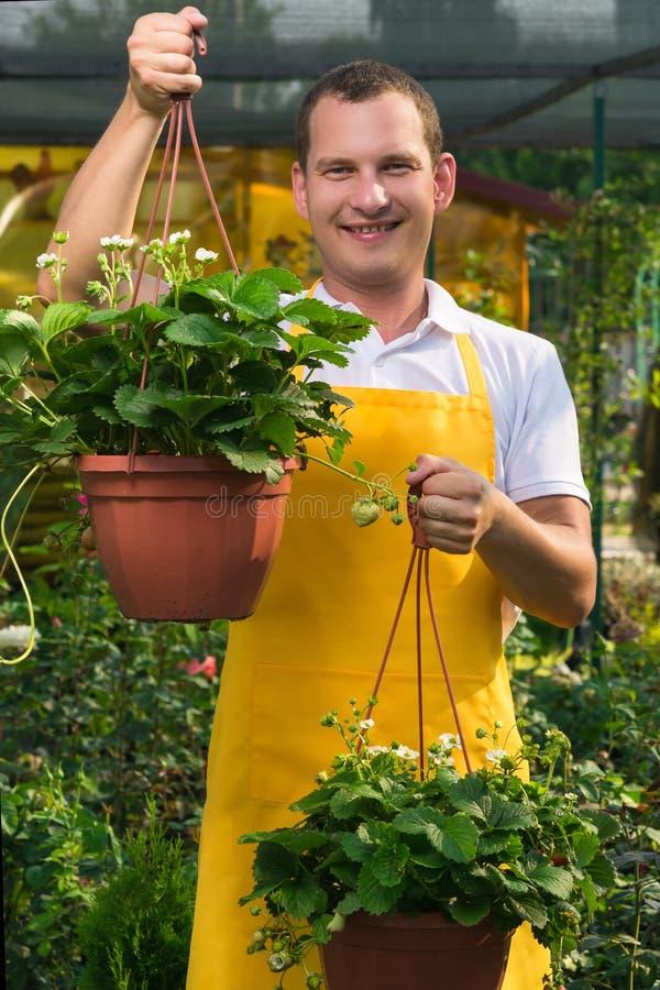 Il giardiniere tiene le piantine delle fragole in vasi del pendente che si sono sviluppati in una serra immagini stock