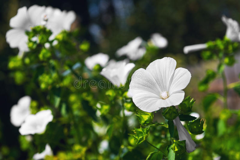 Il giardino bianco fiorisce il Lavatera annuale della malva fotografia stock