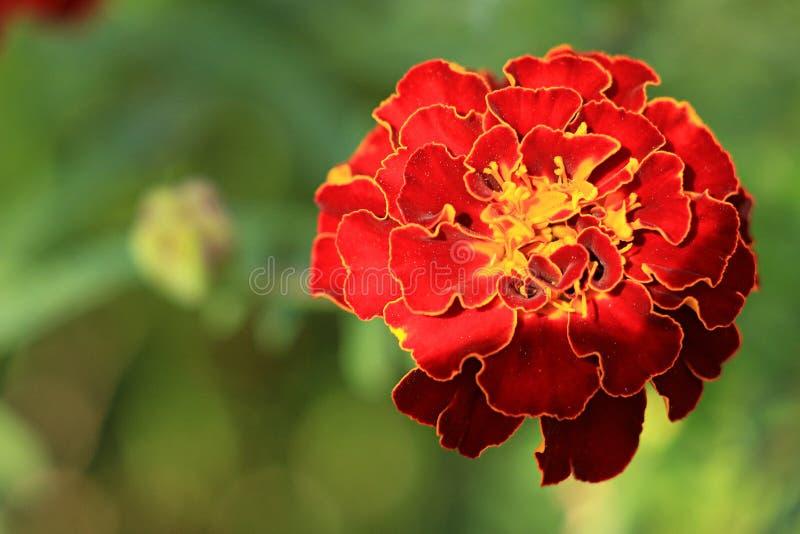 Il giardino di Makro del tagete fiorisce l'estate arancio di colore verde di colore fotografia stock libera da diritti