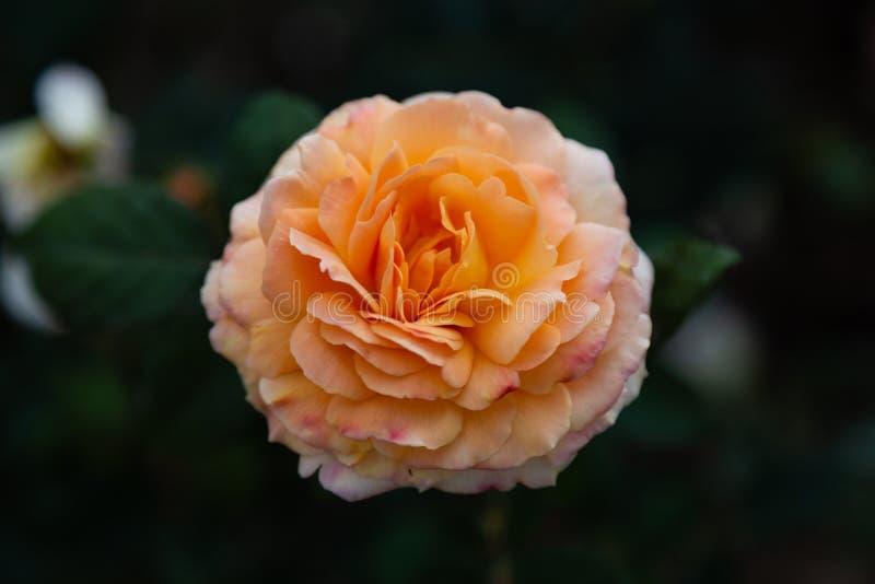 Il giardino di tè ibrido brandy/dell'arancia è aumentato fotografato nel giardino botanico della biblioteca di Huntington fotografia stock