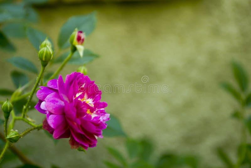 Download Il Giardino Ornamentale è Aumentato Fotografia Stock - Immagine di filiale, cespuglio: 55359692