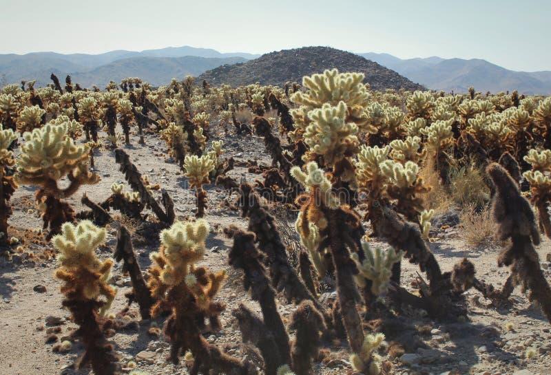 Il giardino su un soleggiato, pomeriggio del cactus di Cholla di estate a Joshua Tree National Park, California fotografia stock