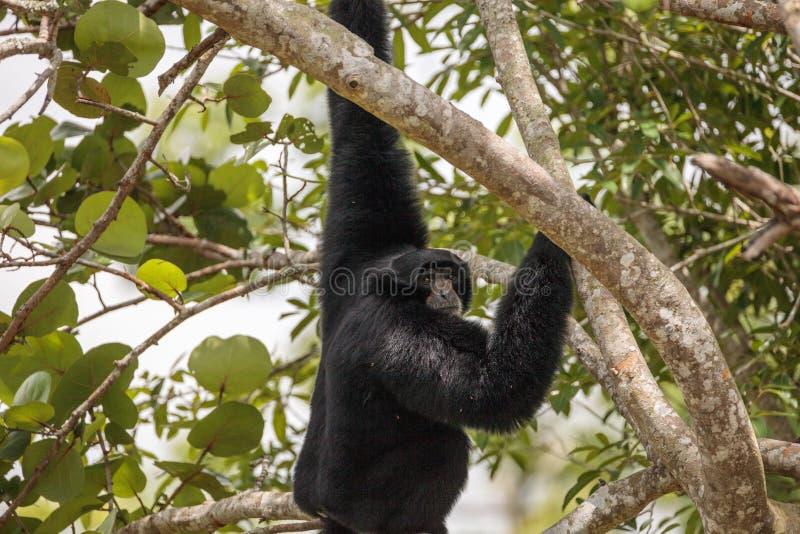 Il gibbone passato bianco inoltre ha chiamato il gibbone del lar o il lar del Hylobates fotografia stock libera da diritti