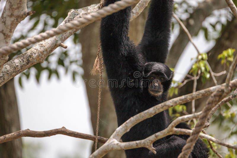 Il gibbone passato bianco inoltre ha chiamato il gibbone del lar o il lar del Hylobates fotografia stock