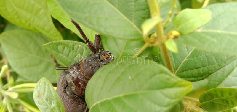 Il giganteus di Titanus dello scarabeo del titano è uno scarabeo neotropicale della mucca texana immagini stock libere da diritti