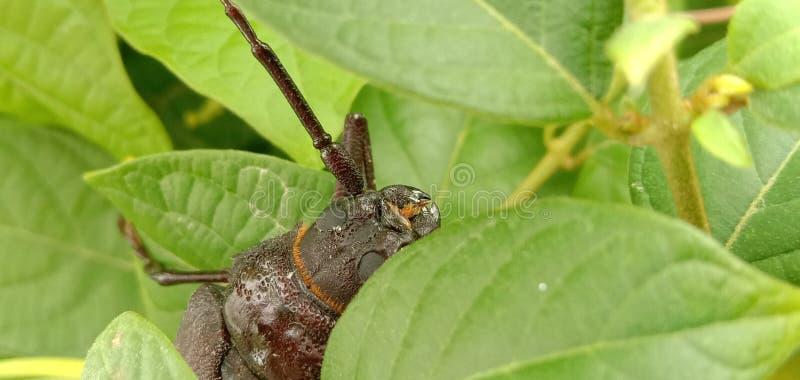 Il giganteus di Titanus dello scarabeo del titano è uno scarabeo neotropicale della mucca texana fotografie stock libere da diritti