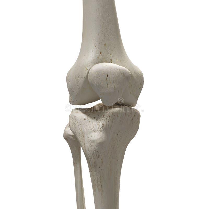 Il ginocchio royalty illustrazione gratis