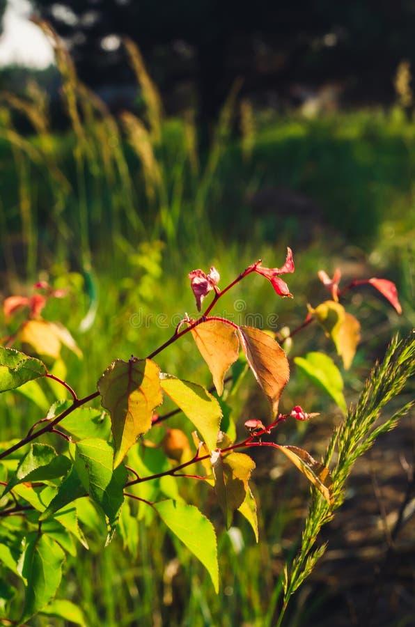 Il gioco di luce solare del nel fogliame colorato multi dell'albero di albicocca Fuoco molle fotografia stock