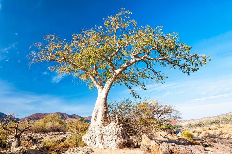 Il giovane albero del baobab in Epupa cade area, Namibia fotografia stock