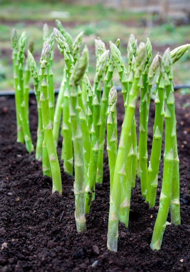 Il giovane asparago verde germoglia nel giardino fotografia stock libera da diritti