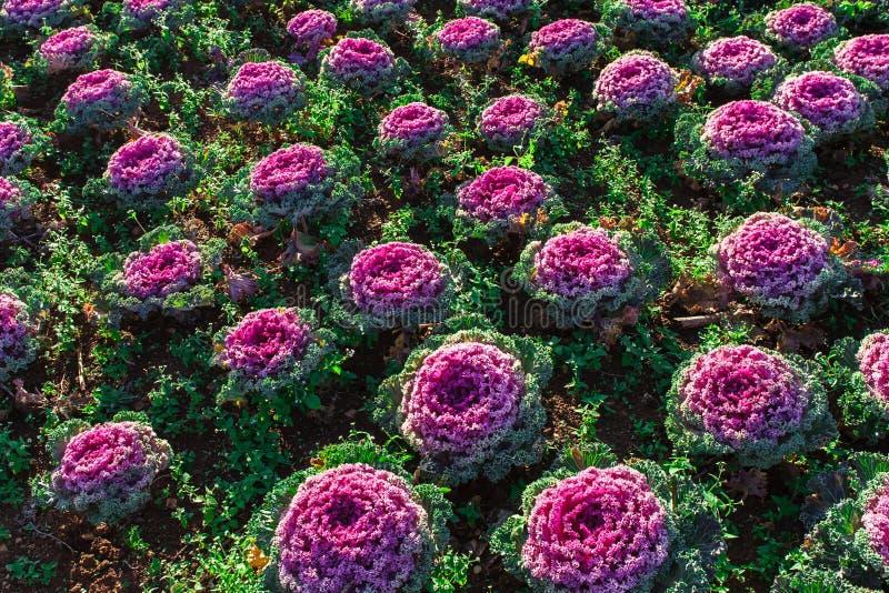 Il giovane cavolo riccio organico fresco si inverdisce giardino del cavolo immagine stock - Riccio in giardino ...