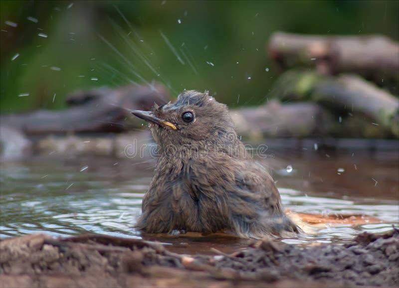 Il giovane codirosso spazzacamino si lava con molti sciabordi immagine stock