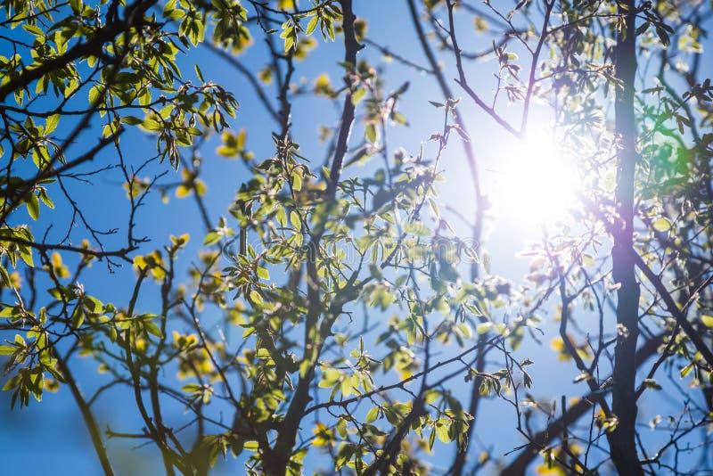 Il giovane della primavera va sui rami della betulla contro il cielo blu immagine stock