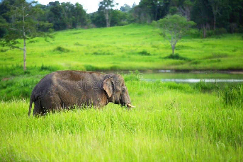 Il giovane elefante che cammina nella foresta fertile fotografia stock
