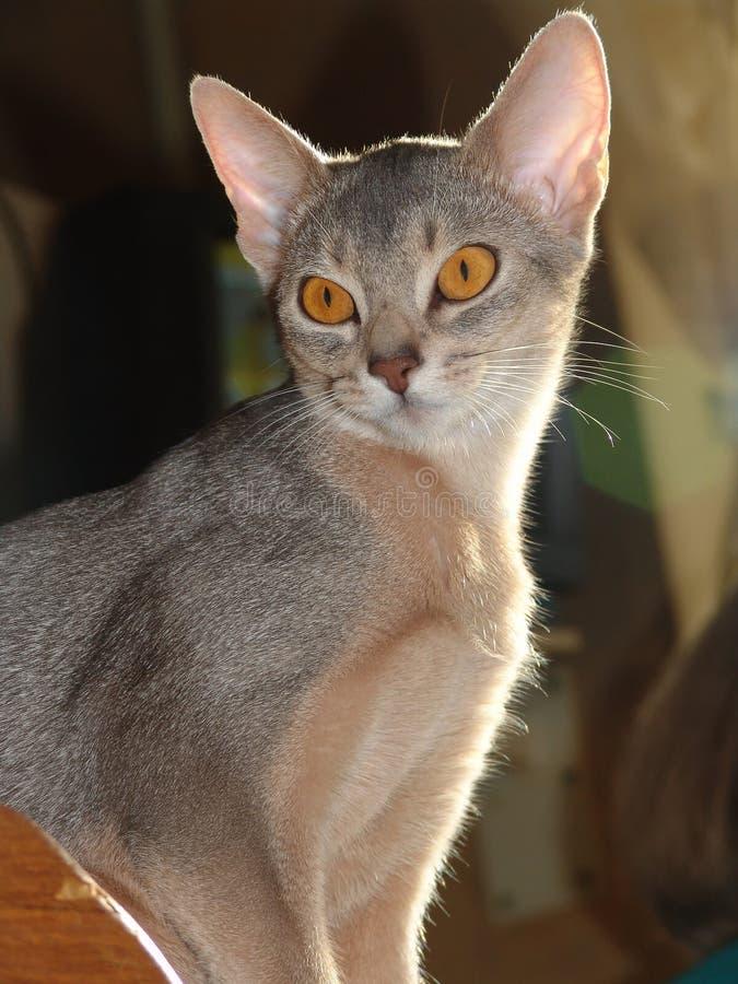 Il giovane gatto abissino esamina l'oggetto fotografie stock