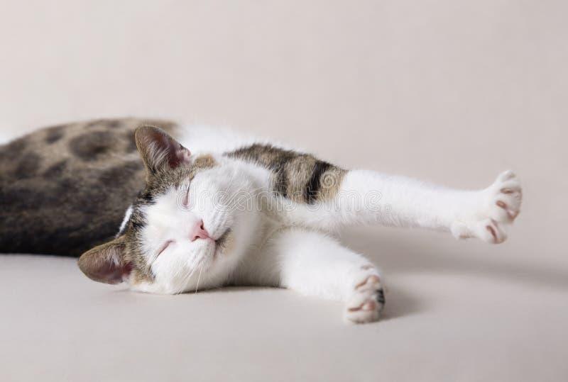 Il giovane gatto bianco è sonno nella casa e sveglia immagine stock