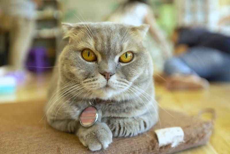 Il giovane gatto sorpreso pazzo fa il grande primo piano degli occhi Lo shorthair americano ha sorpreso occhi del fronte diverten immagine stock