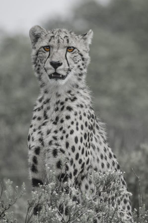 Il giovane ghepardo ha messo a fuoco sul suo prega, sempre un buon avvistamento immagine stock libera da diritti