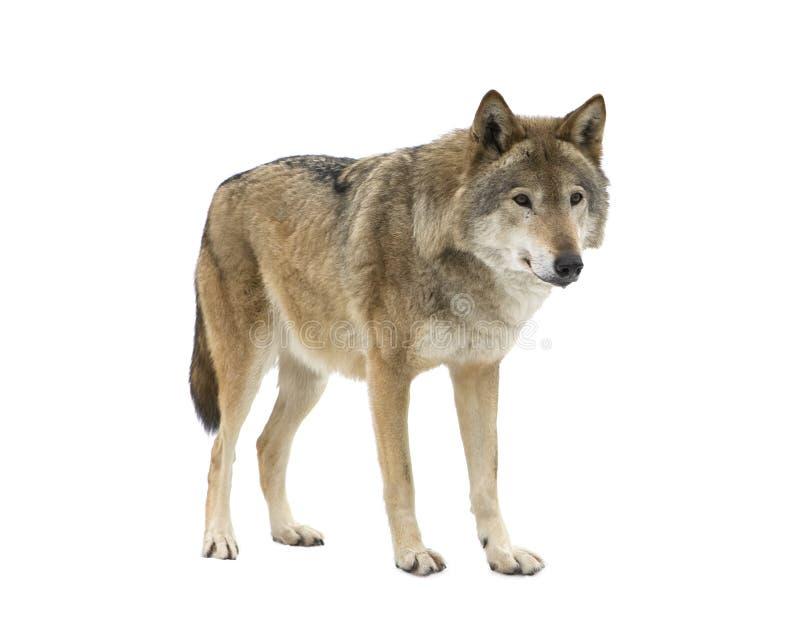 Il giovane lupo che fissa al suo prega. Isolato. fotografie stock libere da diritti