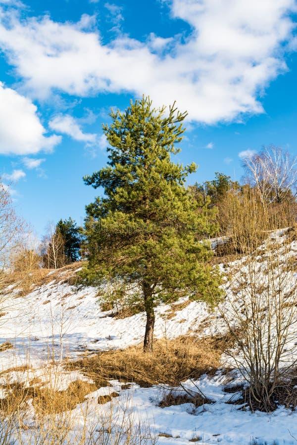 Il giovane pino vicino alla collina con neve si è sciolto, fondendo la neve dal sole della molla, il giorno soleggiato con cielo  immagine stock libera da diritti
