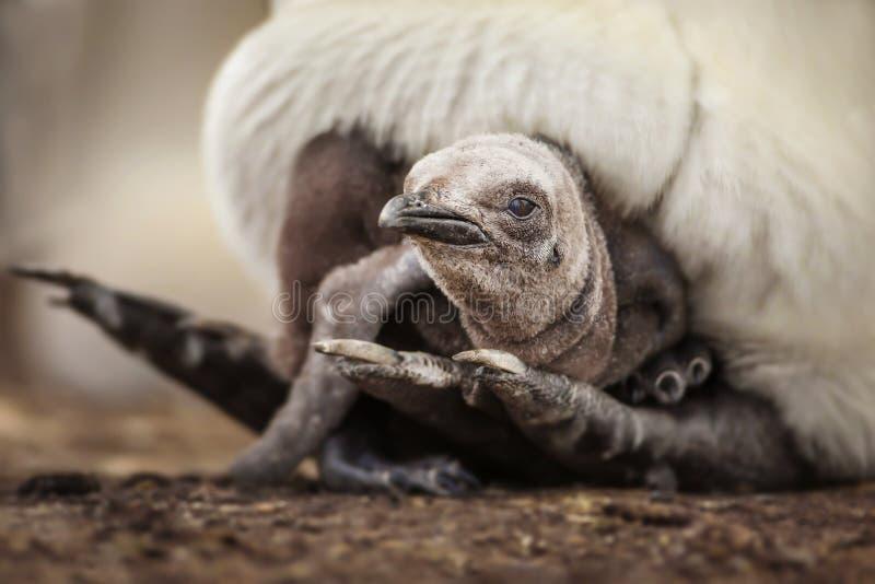 Il giovane pulcino del pinguino di re che pone nell'ambito del ` s del genitore mette le piume a immagine stock