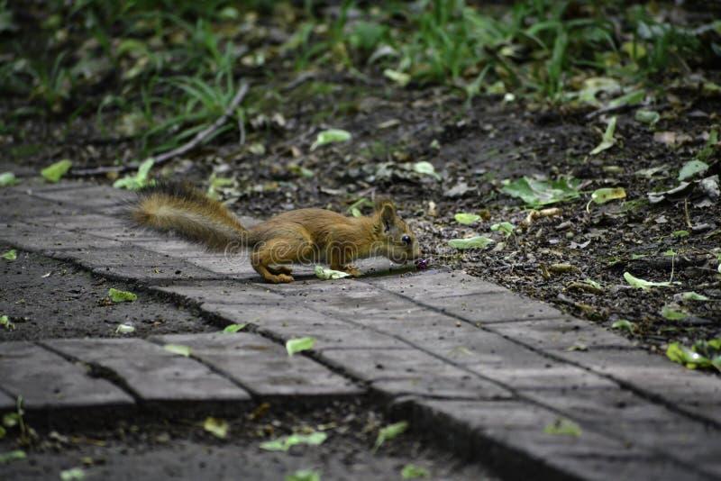 Il giovane squrrel rosso ( sciurus vulgaris) ricerca una piccola pietra che pensa se può essere mangiata fotografia stock libera da diritti