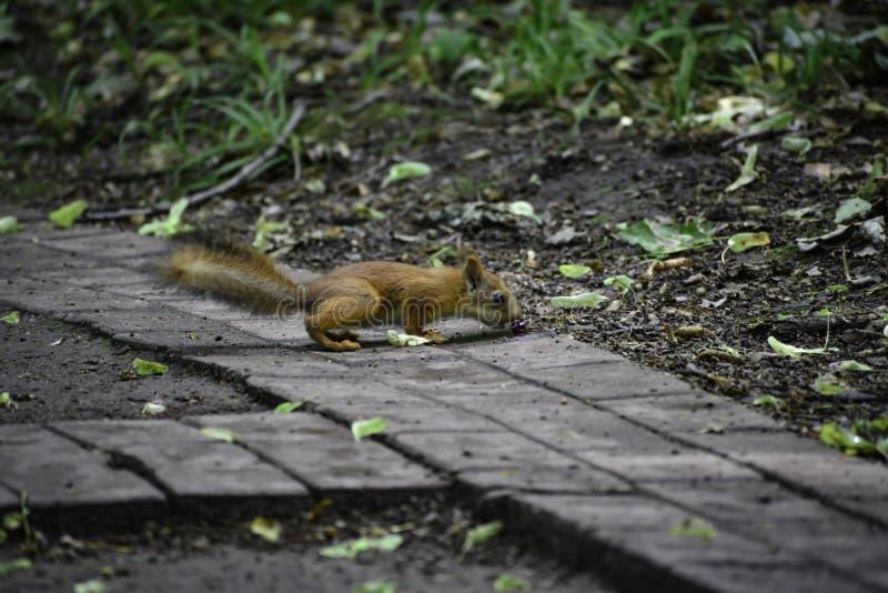 Il giovane squrrel rosso ( sciurus vulgaris) ricerca una piccola pietra che pensa se può essere mangiata fotografia stock