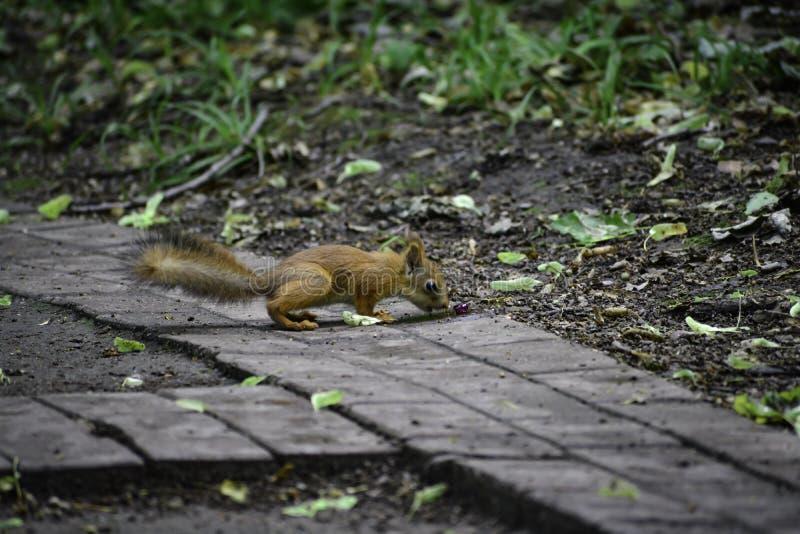 Il giovane squrrel rosso ( sciurus vulgaris) ricerca una piccola pietra che pensa se può essere mangiata immagine stock libera da diritti