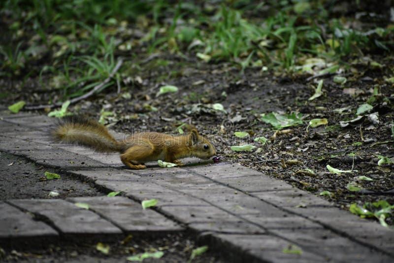 Il giovane squrrel rosso ( sciurus vulgaris) ricerca una piccola pietra che pensa se può essere mangiata fotografie stock
