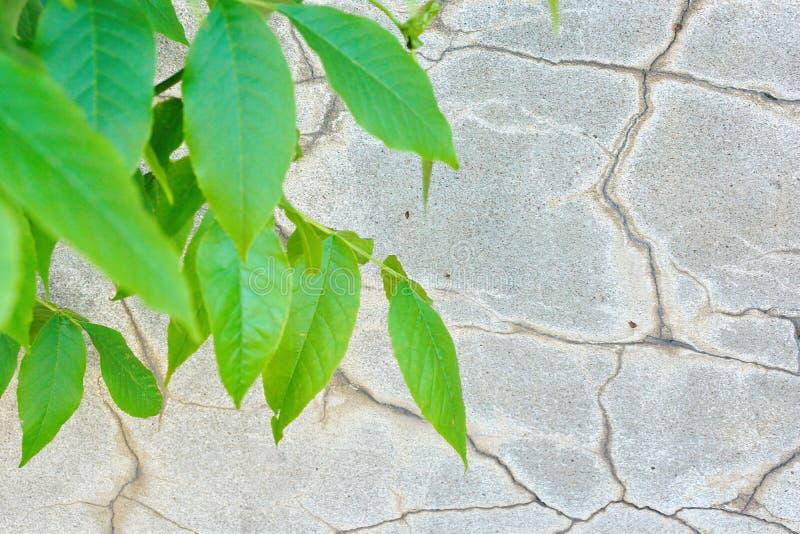 il giovane verde f del vecchio del cemento della parete dello stucco fondo grigio di struttura immagini stock libere da diritti