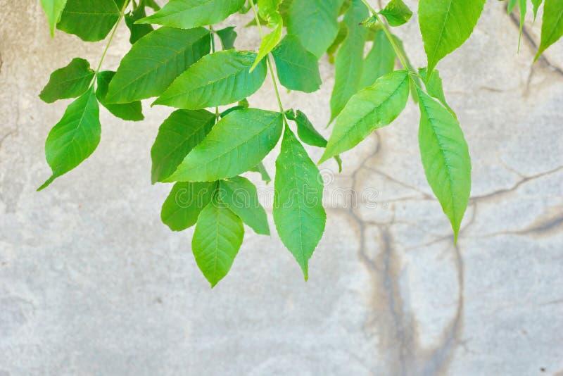 il giovane verde f del vecchio del cemento della parete dello stucco fondo grigio di struttura fotografia stock libera da diritti