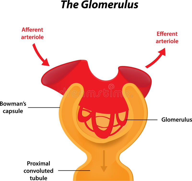 Il glomerulo illustrazione di stock